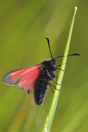 zygaena: Transparent Burnet moth , Zygaena purpuralis on the grass Stock Photo