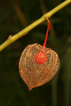 winter cherry: Winter cherry decorative plant with edible fruit Stock Photo