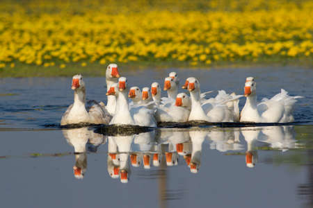 feathe: Flock of white domestic geese swiming on the lake