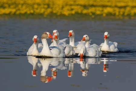 feathe: Flock of white domestic geese swiming on the floral pond