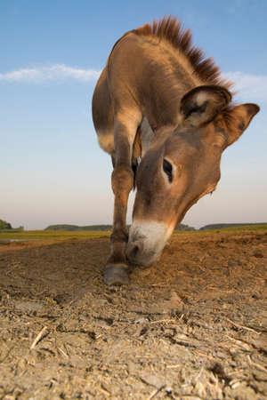 wild donkey: Portrait of  wild donkey on the  meadow