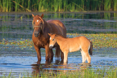 Sorrel horse and foal drink water on the bog