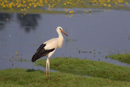 Young White stork Ciconia on the bog Stock Photo