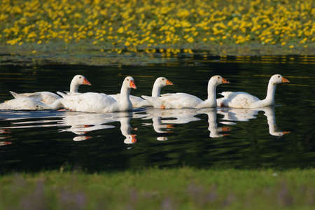 feathe: Flock of white domestic geese swimming on the lake Stock Photo