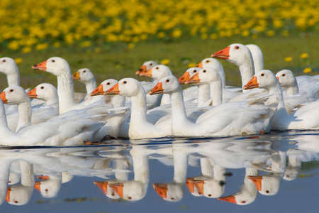 feathe: Flock of white domestic geese swimming on the floral pond