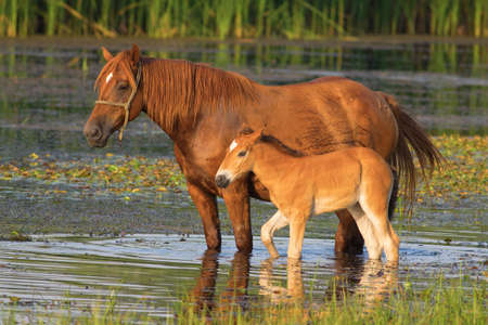 sorrel: Sorrel horse and foal drink on the pond