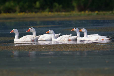 feathe: Flock of white domestic geese swimming on the bog Stock Photo