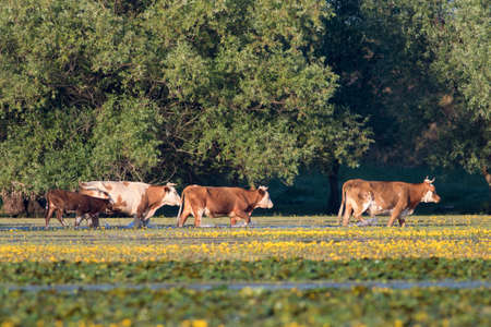 a bathing place: Herd of cows bathing and drinking on watering place