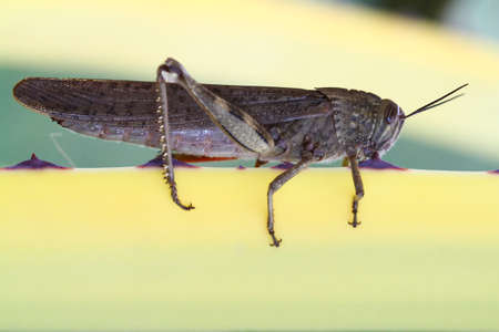 Egyptian locust grasshopper, Anacridium aegyptium is resting  on yellow plant