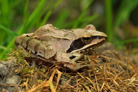 Agile Frog,  Rana dalmatina on the forest