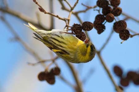 Common Siskin  Carduelis spinus feeding with birch seeds Stock Photo