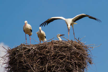 widlife: Nest with four young white storks, Ciconia ciconia