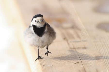 motacilla: ave joven linda lavandera blanca, Motacilla alba
