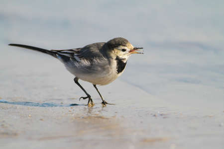 motacilla: White Wagtail bird, Motacilla alba  singing on the shore