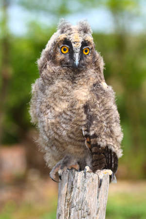 a nocturne: Young long ered owl Asio otus resting on the branch