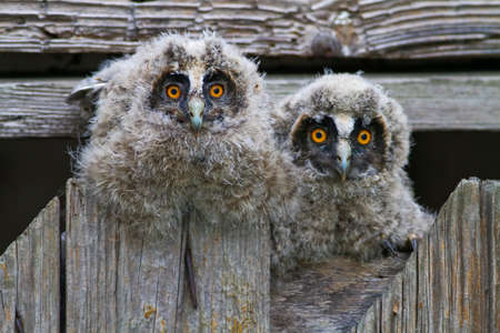 bugaboo: Two young long eared owls Asio otus resting
