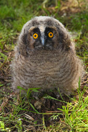 a nocturne: Young long ered owl Asio otus  on the ground