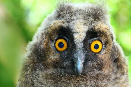 bugaboo: Portrait of  Baby long ered owl Asio otus