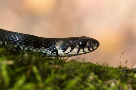 water grass: European non venomous water Grass snake on the moss