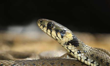 Portrait of European non venomous water Grass snake