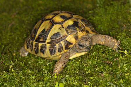 Hermans turtle, Testudo hermanni on the green moss Stock Photo