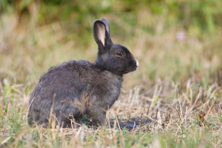 Gray Wild rabbit sitting in the grass