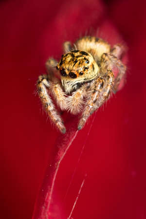 salticidae: Jumping spider Carrhotus xanthogramma  on the red background