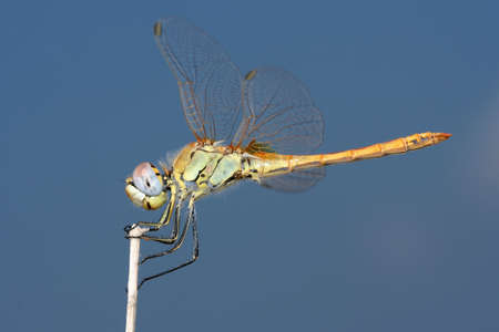 sympetrum: Dragonfly Red veined Darter Sympetrum fonscolombei perched on a twig Stock Photo