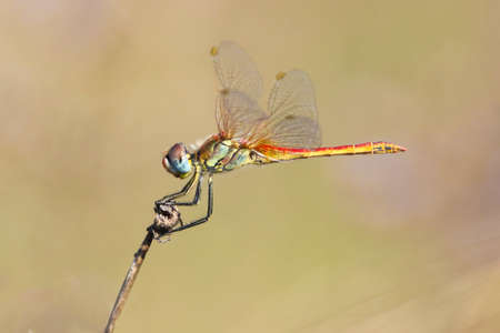 Dragonfly Red veined Darter Sympetrum fonscolombei perched on a twig Stock Photo