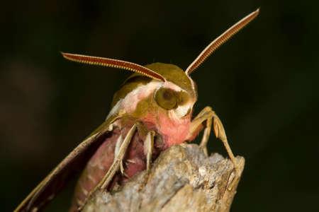 hyles: Closeup of Spurge hawk  moth Hyles euphorbiae