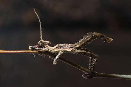 Male of Malaysian Stick Insect, Heteropteryx dilatata