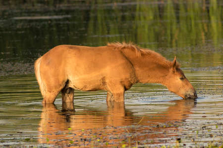 Sorrel foal drinking water on watering place Stock Photo