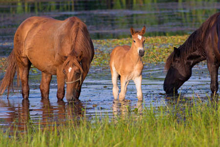 Two horses and foal on the watering place drinking Stock Photo