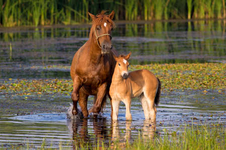 Sorrel  mother horse and foal in the pond Stock Photo