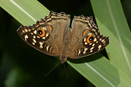 Lemon pansy, Junonia lemonias nymphalid butterfly found in South Asia Stock Photo