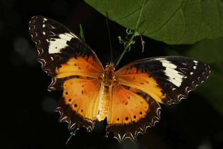 Malay lacewing, Cethosia cyane butterfly of the Nymphalidae family Stock Photo