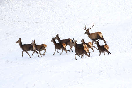Running drove of red deer in snow