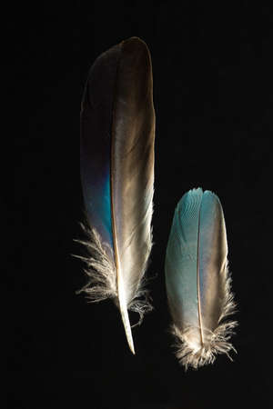 garrulus: Two feathers of European roller Caracius garrulus isolated on black