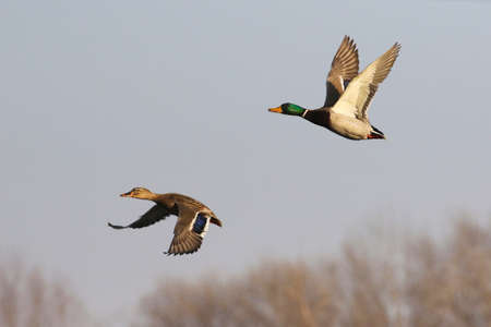 Male and female mallard duck, Anas platyrhynchos in flight