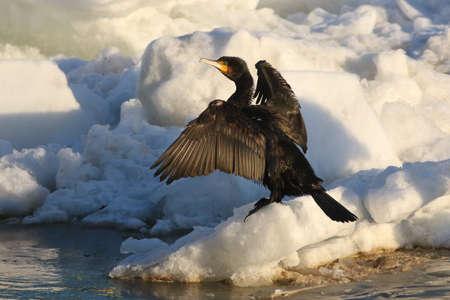 cormorant: Cormorant, Phalacrocorax carbo drying wings on iceberg Stock Photo