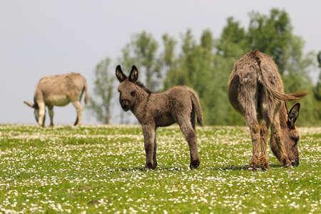 Mother and newborn baby donkeys grazing on the floral meadow  Stock Photo