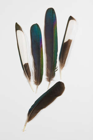 Five feathers of Magpie, Pica pica, on white Stock Photo