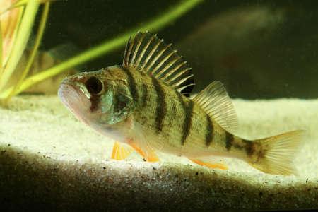fish tank: European perch Perca fluviatilis svimming in the pond Stock Photo