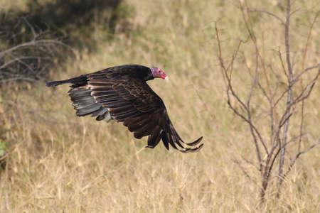 Turkey Vulture,  Cathartes  aura in Flight Stock Photo