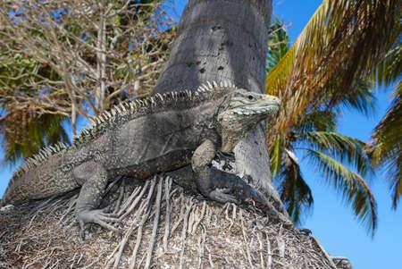 Cyclura nubila, Cuban rock iguana on the palm tree