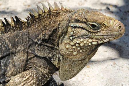 Portrait of Cyclura nubila, Cuban rock iguana