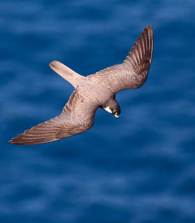 Elenora falcon fly over  sea