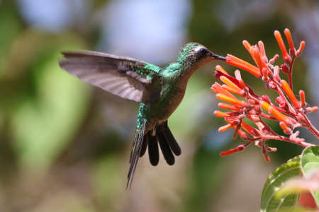 Flying Cuban Emerald Hummingbird , Chlorostilbon ricodi feeds on red flower