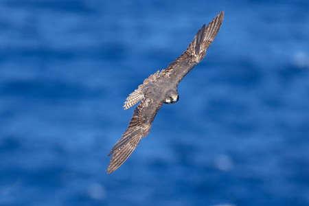 Female of Eleonoras falcon Falco eleonorae fly over sea