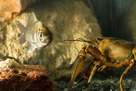 carassius gibelio: Eastern crayfish Orconectes limosus and Prussian carp, Carassius gibelio fish in the pond